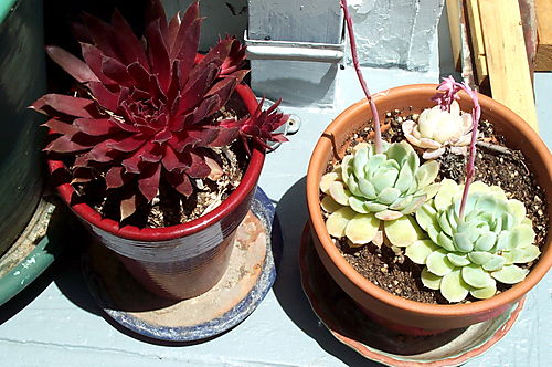 Succulents in pot 2