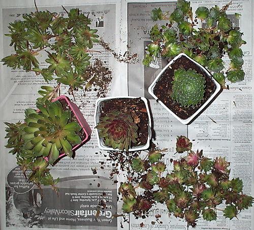 Succulents after
