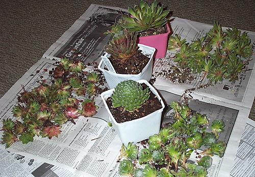 Succulents after 1