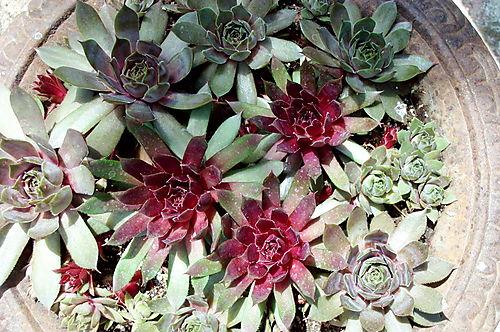 Succulents in pot 1