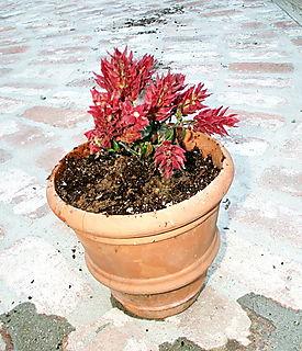 Shrimp plant in pot