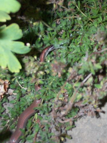 Sharptail snake eating