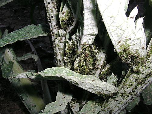 Ants aphids artichoke 1