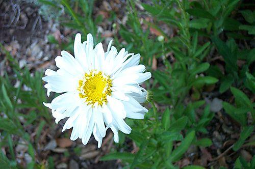 Shasta daisy 08