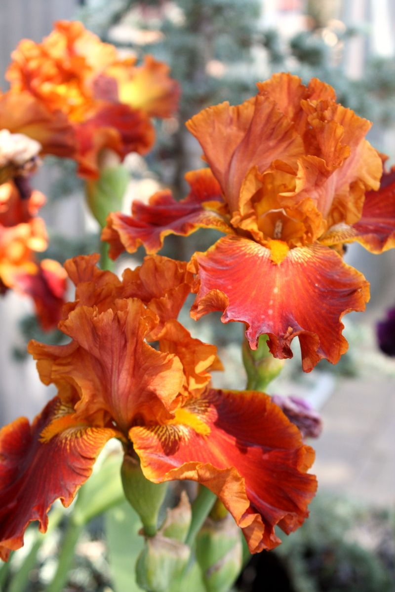 Iris rust