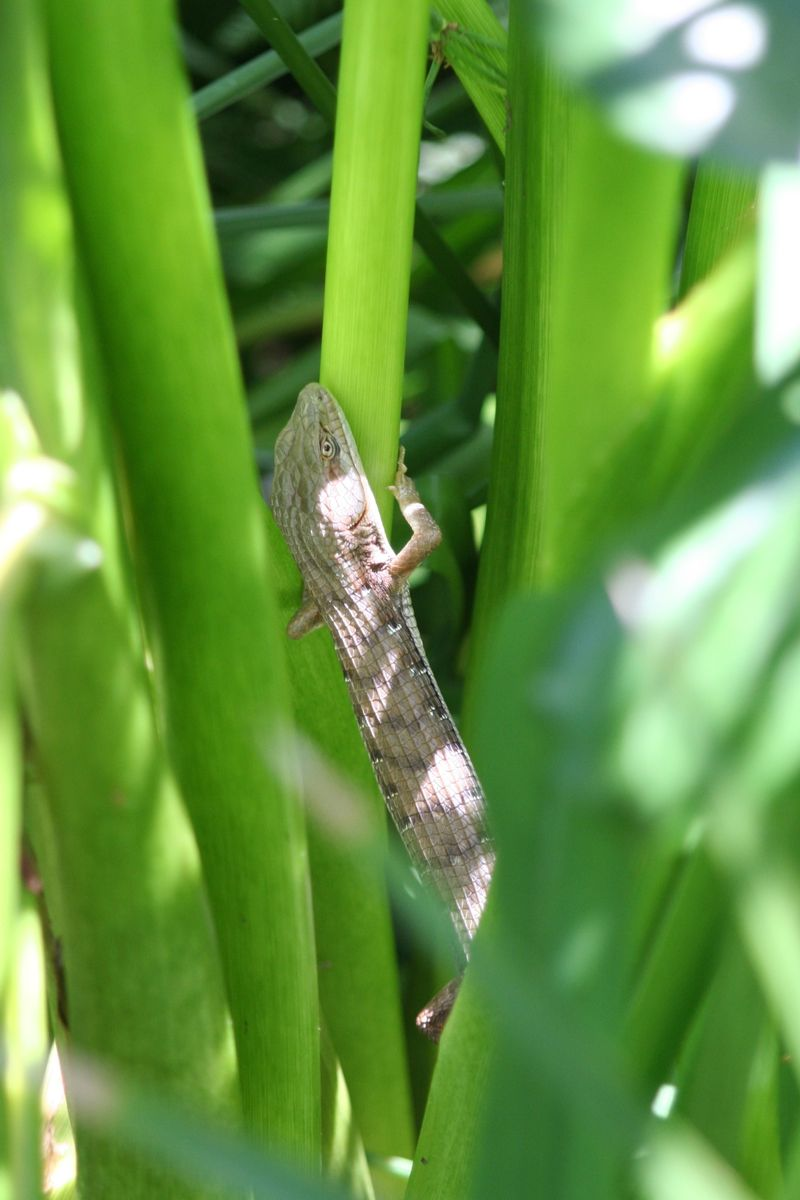 Alligator lizard hunting