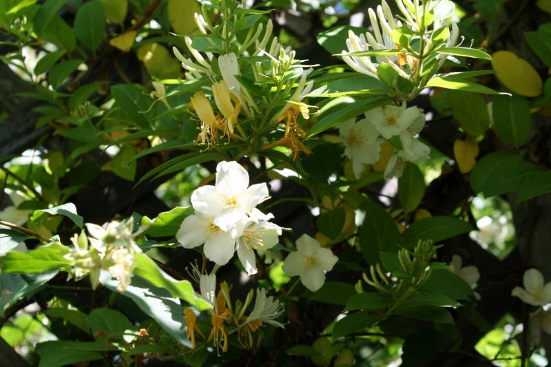 Mock orange and honeysuckle