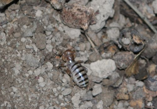 Potato bug 2