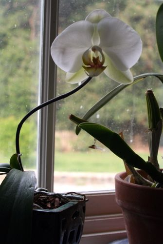 Orchid baby flower