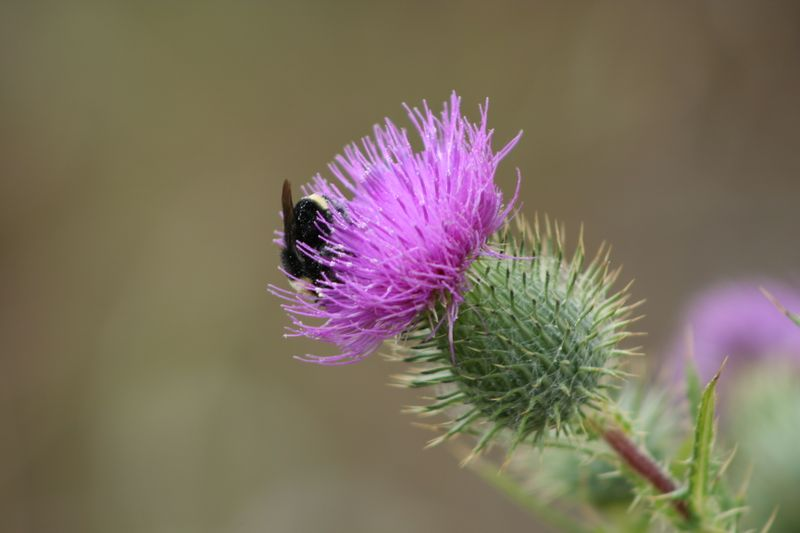 Bee and thistle ano neuvo