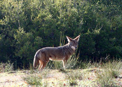 Coyote at alpaca ranch