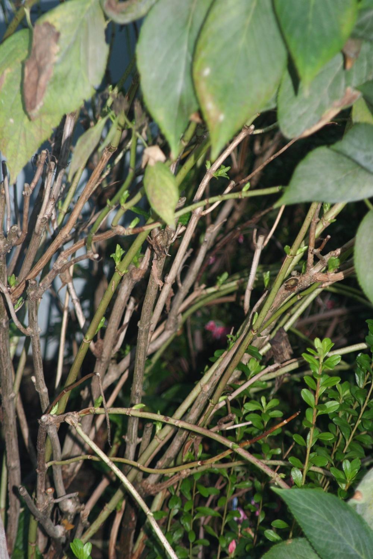 prune hydrangea 3 - When To Trim Hydrangea