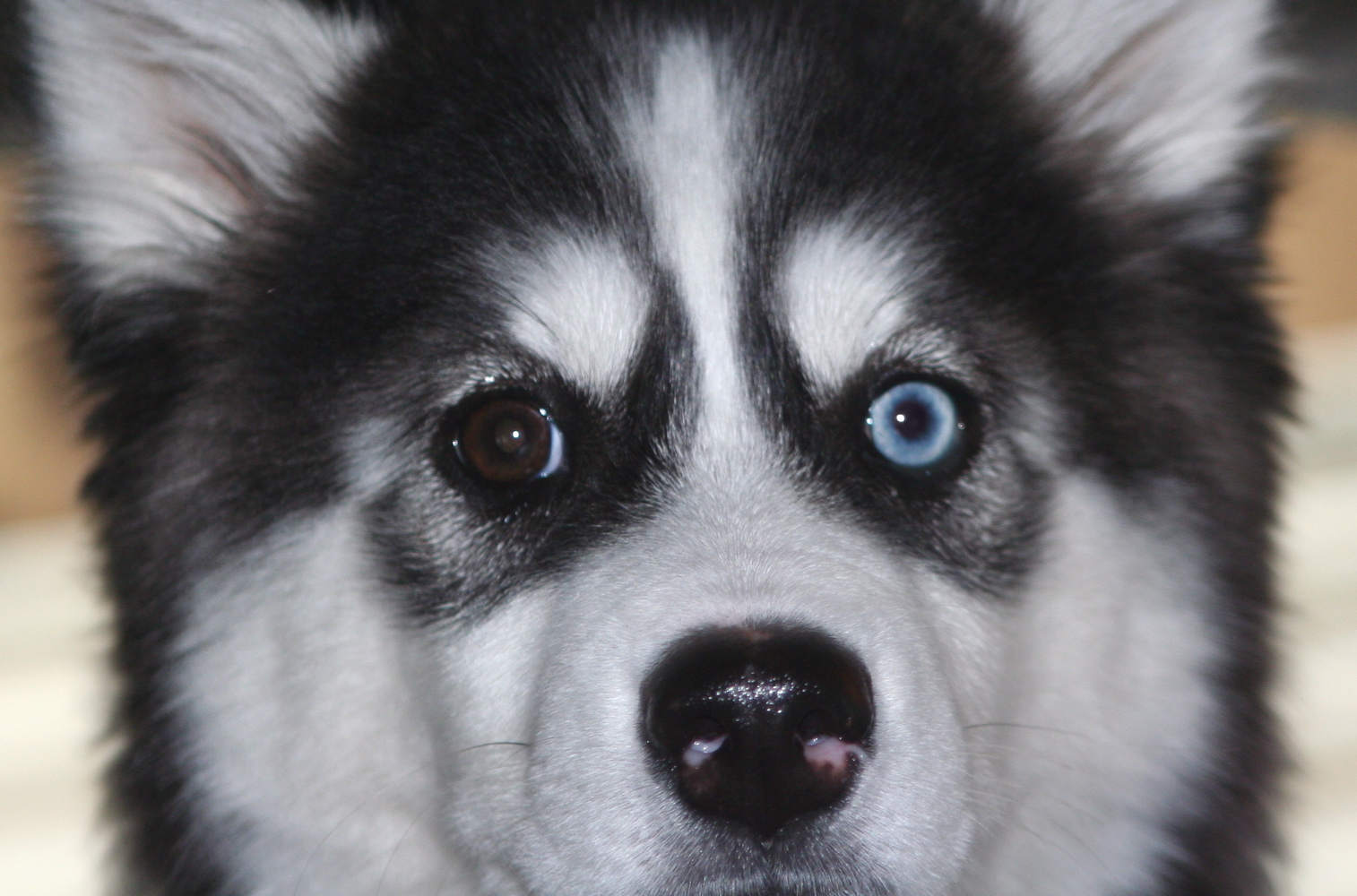 Husky With Different Colored Eyes Two Different Color Eyes