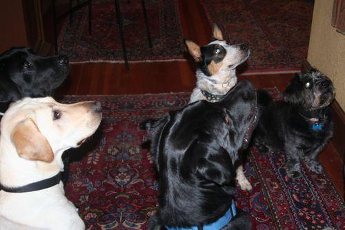 X-mas 5 dogs