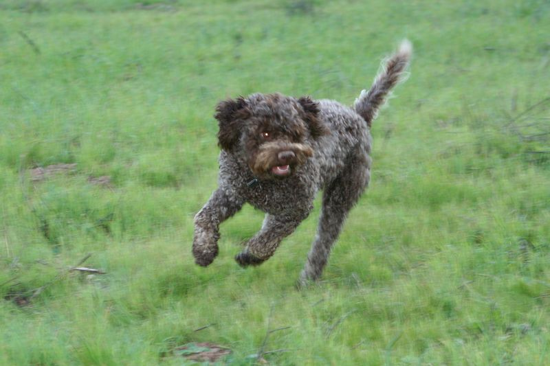 Lagotto running