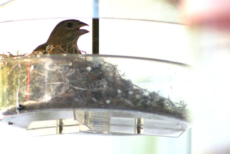 House finch in feeder