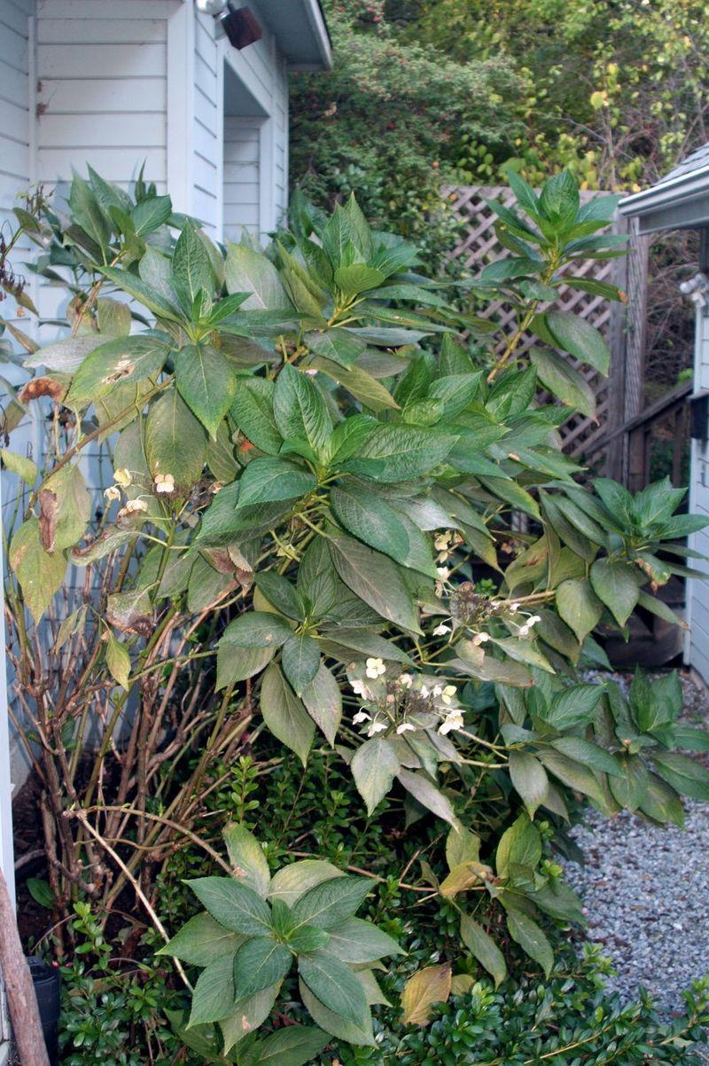 Hydrangea last year