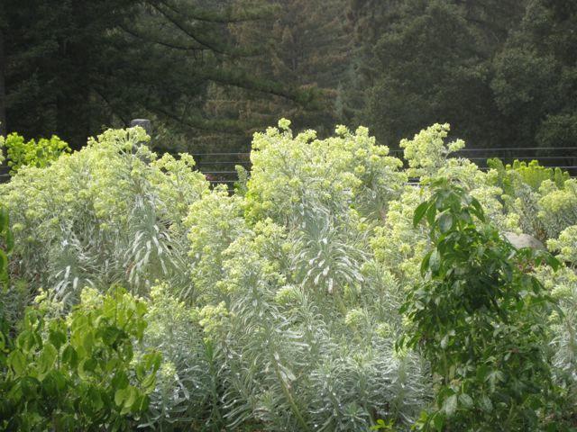 Euphorbia heaven