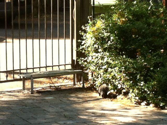 Baby skunk ignoring live trap