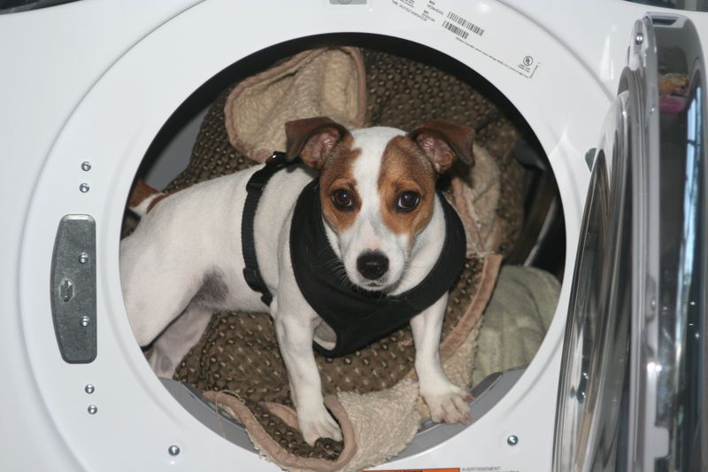 Sadie in dryer
