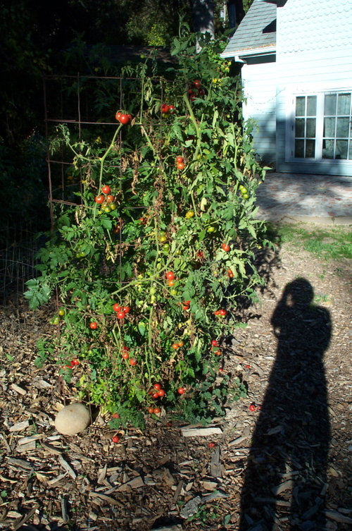 Fall_tomatoes_with_long_shadow