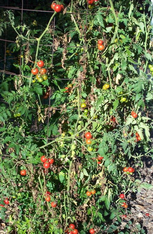 Smoked_tomatoes