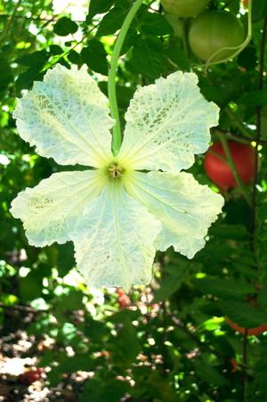 Gourd_flower
