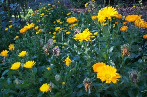 Calendula_garden