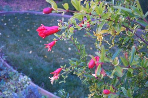 Wib_ornamental_pomegranate