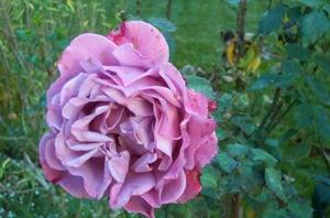 Wib_puple_rose
