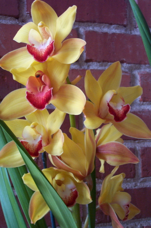 Yellow_orchid_3