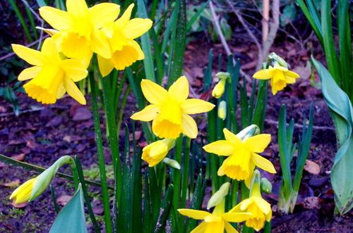 Yellow_daffodils