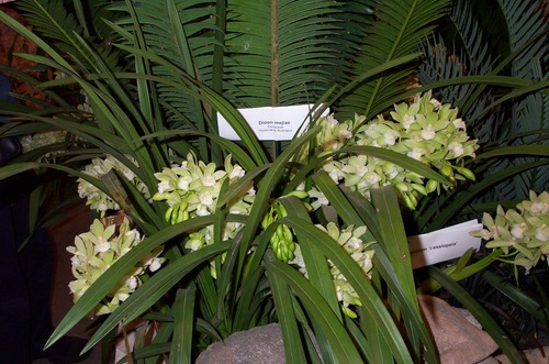Green_and_white_cymbidiums