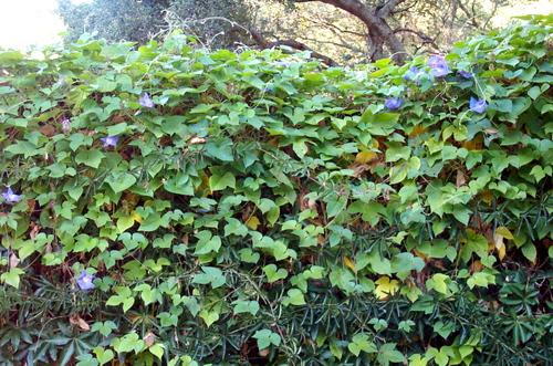 Many_vines_2