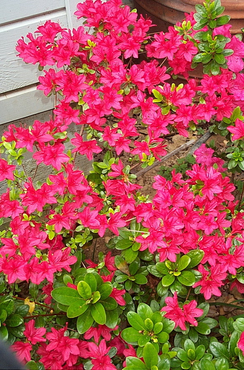 Red_azalea_flower
