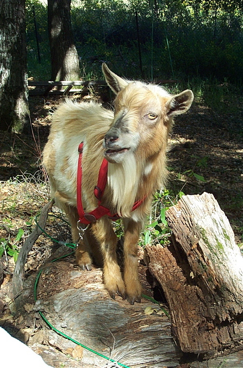 Goatsrocky